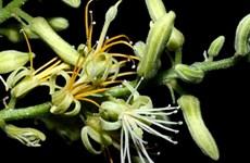 Trung Quốc phát hiện loài thực vật mới thuộc chi Nam mộc hương