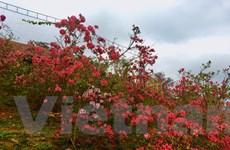 Ngất ngây với Vương quốc hoa Đỗ quyên rực rỡ ở Vĩnh Phúc