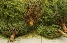Ba Lan tận dụng cây thông Giáng sinh để biến thành năng lượng sạch