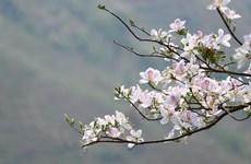 [Video] Tạm dừng tổ chức Lễ hội Hoa lãng mạn nhất núi rừng Tây Bắc