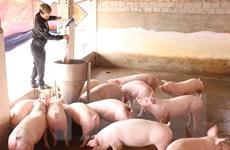 Tạo điều kiện cho các trang trại lợn đủ điều kiện được tái đàn