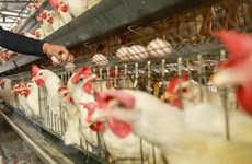 Séc xác nhận dịch cúm gia cầm sau khi hàng nghìn con gà tây bị chết