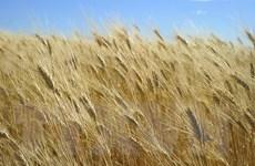 Thị trường nông sản thế giới biến động trái chiều trong tuần qua