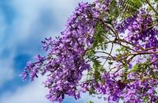 [Video] Mê mẩn sắc hoa phượng tím trên những con phố Đà Lạt