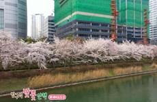 [Video] Hàn Quốc: Hoa anh đào nở lộng lẫy ven hồ Seokchon