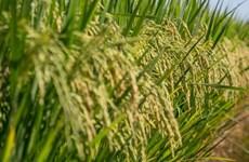 Brazil dự kiến đạt sản lượng ngũ cốc kỷ lục trong niên vụ 2019-2020