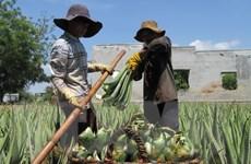 Ninh Thuận: Nắng nóng đẩy nhu cầu tăng, người trồng nha đam lãi lớn