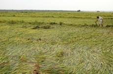 Quảng Bình: Mưa đá bất thường làm hàng chục hécta lúa bị gẫy đổ