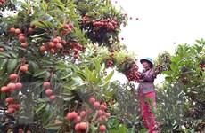 Xuất khẩu quả vải tươi: Đề nghị Nhật Bản ủy quyền kiểm dịch thực vật
