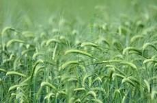 Đằng sau việc Trung Quốc đe dọa áp thuế đối với lúa mạch Australia