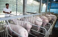Quảng Trị nỗ lực ngăn chặn dịch tả lợn châu Phi tái bùng phát