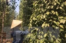 Thị trường nông sản tuần qua: Giá tiêu tăng, gạo xuất khẩu ổn định