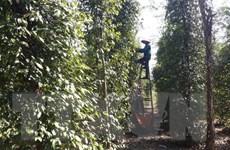 Bình Phước: Giá hồ tiêu nhích lên nhưng người trồng vẫn khó khăn