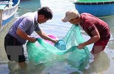 Ngư dân Ninh Thuận kiếm tiền triệu cho mỗi giờ vớt cá dìa giống