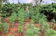 Đắk Lắk: Hai anh em sinh đôi trồng hàng trăm cây cần sa trên rẫy càphê