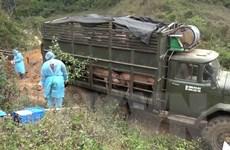Dịch tả lợn châu Phi: Kiểm soát vận chuyển lợn và sản phẩm từ lợn
