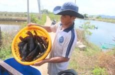 Khánh Hòa: Hàng trăm tấn cá mú tồn đọng do không có đầu ra