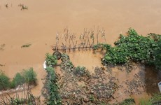 Mưa bão gây thiệt hại nhiều diện tích lúa và hoa màu tại Phú Thọ