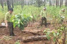 Lâm Đồng: Phát hiện hàng trăm khúc gỗ thông bị chôn để chiếm đất