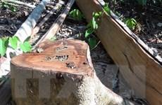 Lâm Đồng: Khởi tố đối tượng khai thác, vận chuyển gỗ rừng trái phép