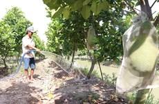 Nông dân Đồng Tháp thu lãi hơn 300 triệu đồng với mỗi ha mít Thái