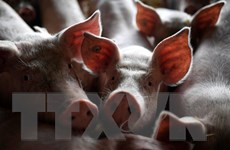 Hàn Quốc: Ghi nhận ca mắc tả lợn châu Phi đầu tiên kể từ năm 2019
