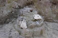 Khai quật khảo cổ tại khu vực gò Dền Rắn thuộc Di chỉ Vườn Chuối
