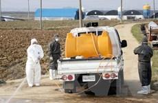 Hàn Quốc ghi nhận nhận thêm ổ dịch cúm gia cầm H5N8 độc lực cao