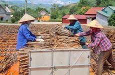 Lào Cai: Cây quế giúp đồng bào vùng cao Nậm Đét thoát nghèo