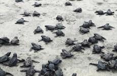 """Rùa quý hiếm tại Ecuador 'bùng nổ dân số,"""" hơn 9.000 cá thể chào đời"""