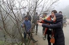 Sơn La thí điểm truy xuất nguồn gốc cây đào trên địa bàn tỉnh