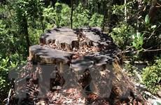 Xử lý nghiêm hành vi phá rừng pơmu cổ thụ tại Vườn Quốc gia Hoàng Liên