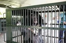 Chuyển giao một cá thể gấu bị nuôi nhốt trái phép tại Hải Phòng