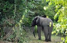 Côte d'Ivoire: Loài voi có thể sẽ biến mất hoàn toàn ở quốc gia này
