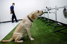 [Video] Chó có thể phát hiện người mắc COVID-19 chính xác tới 94%