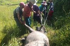 Kon Tum: Trâu, bò chết hàng loạt do mắc bệnh tụ huyết trùng