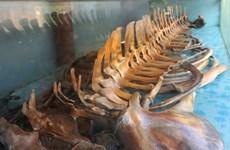 Thanh Hóa: Độc đáo ngôi đền thờ bộ xương cá voi lớn nguyên vẹn