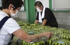Nhật Bản: Mùa thu hoạch dưa hấu vuông đặc sản trên đảo Shikoku