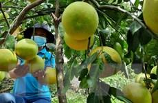 Hà Tĩnh: Tìm giải pháp hỗ trợ nông dân tiêu thụ bưởi Phúc Trạch