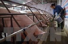 Giá lợn hơi tiếp tục giảm, có nơi còn dưới 40.000 đồng mỗi kg