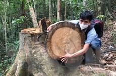 """Quảng Ngãi: """"Lâm tặc"""" vẫn ngang nhiên chặt phá rừng phòng hộ đầu nguồn"""