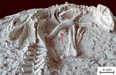 Trung Quốc: Phát hiện hóa thạch hoàn chỉnh của khủng long con quý hiếm