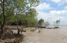 Thái Bình trồng 30 nghìn cây phi lao bảo vệ đê biển