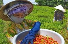 Giá ớt Bình Định tới 14.000 đồng mỗi kg, người trồng lãi lớn