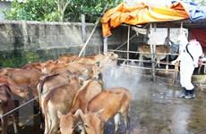 Đắk Nông khống chế ổ dịch bệnh bò lở mồm long móng