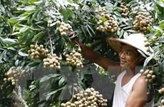 Nhãn xuồng cơm vàng đứng vững trên thị trường trong nước
