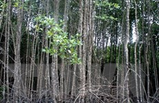 UNEP kêu gọi thiết lập quỹ toàn cầu nhằm bảo vệ cây đước