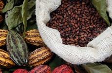 Flavanols trong cacao giúp cải thiện suy giảm trí nhớ do tuổi già