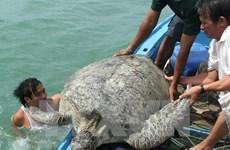 Bảo tồn hiệu quả loài rùa biển tại Vườn quốc gia Côn Đảo