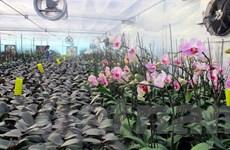 Vùng hoa Hoành Bồ đưa công nghệ cao vào các loài hoa đón Tết